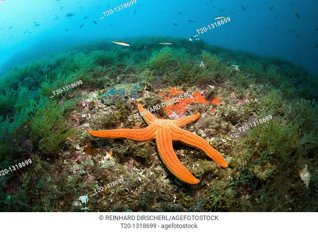 Red Starfish in Coral Reef, Echinaster sepositus, Cap de Creus, Costa Brava, Spain