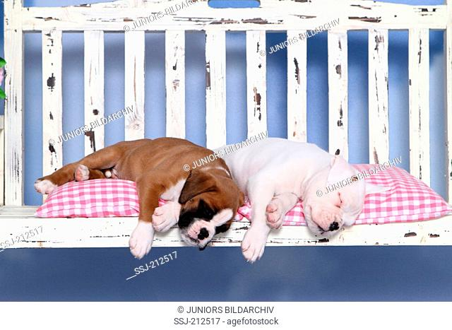 German Boxer. Two puppies (6 weeks old) sleeping on a porch swing. Studio picture against a white background. Germany