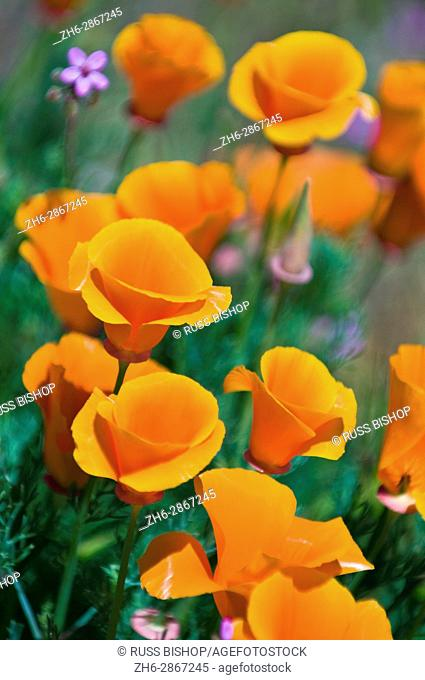 California Poppies (Eschscholtzia californica), Antelope Valley, California USA