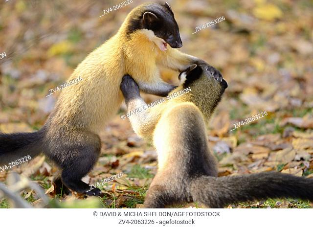 Close-up of two yellow-throated marten (Martes flavigula) in a forest in autumn