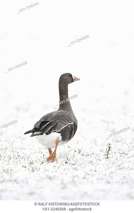 Greater White-fronted Goose / Blaessgans ( Anser albifrons ), single bird in winter, snow, walking away, looks funny, wildlife, Europe