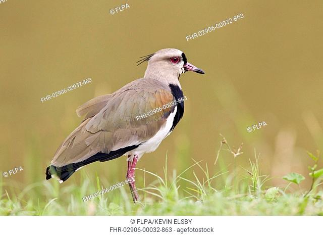 Southern Lapwing (Vanellus chilensis) adult, standing on grass, Trinidad, Trinidad and Tobago, November
