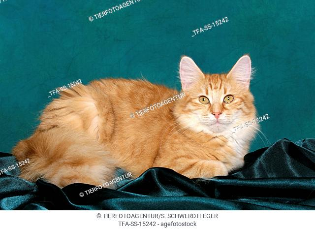 young lying norwegian forest cat
