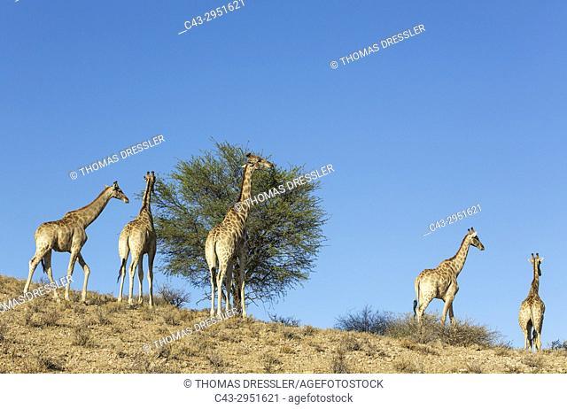 Southern Giraffe (Giraffa giraffa). Feeding on a shepherds's tree (Boscia albitrunca). Kalahari Desert, Kgalagadi Transfrontier Park, South Africa