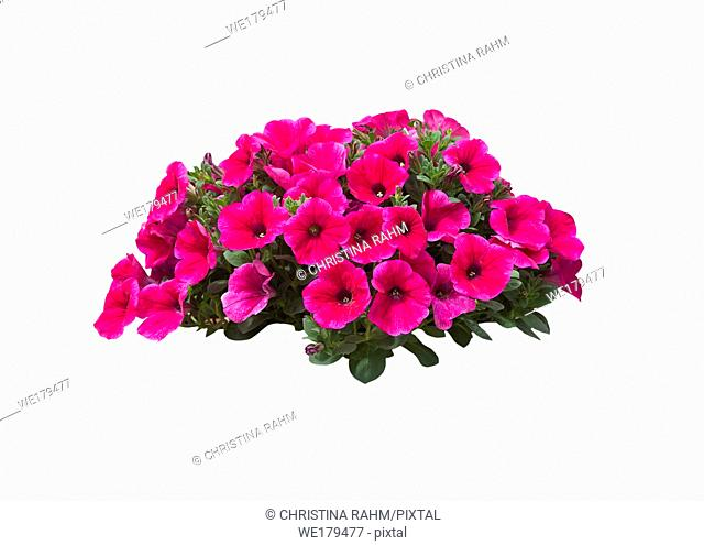 Pink petunia flowers in a large heap isolated on white