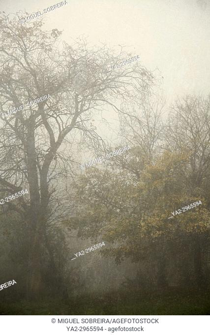 Trees in Fog. Clapham Common. London. England