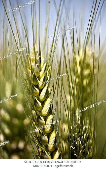 Detail of triticum  Wheat