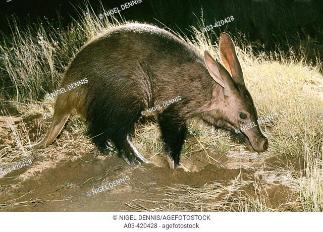 Aardvark, Tuissen de Riviere, Free State, South Africa