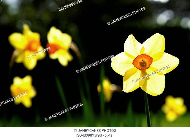 Daffodils, close up