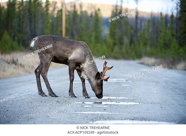 Female Woodland Caribou, Rangifer tarandus caribou, Central British Columbia, Canada