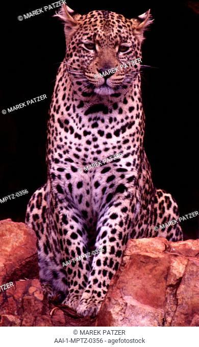 Leopard, South Luangua National Park, Zambia