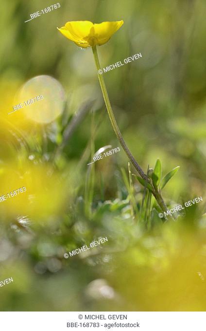 Flowering Creeping Buttercup