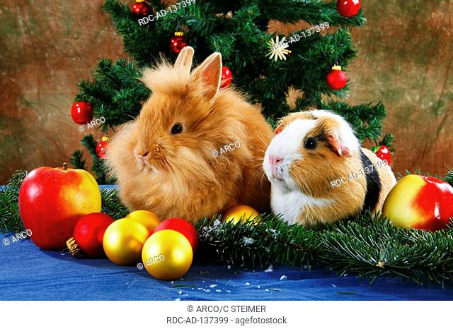Lion-maned Dwarf Rabbit and Guinea Pig