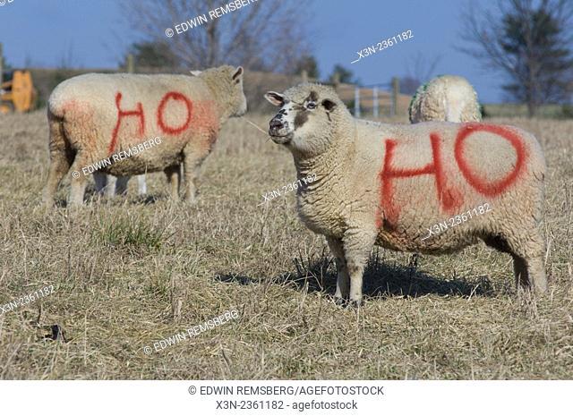 Sheep painted for christmas with Ho Ho Ho