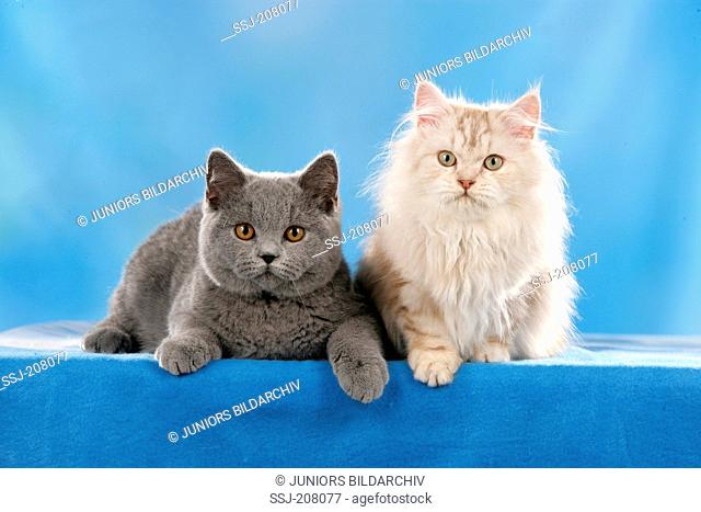 British Shorthair and British Longhair. Two kittens seen against a blue background. Studio picture against a blue background. Germany
