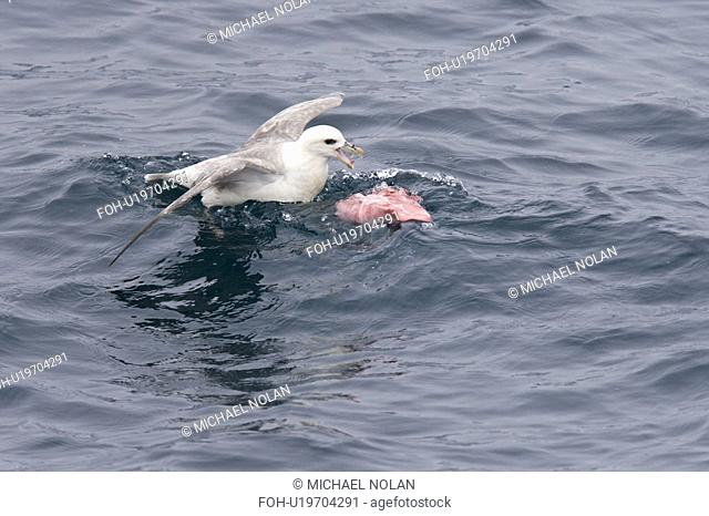 Northern fulmar Fulmarus glacialis feeding on dolphin carion from recent Orca kill in the Barents Sea south of Bear Island just off the continental shelf