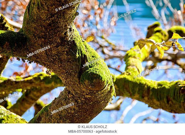 big moosy branch of a beech