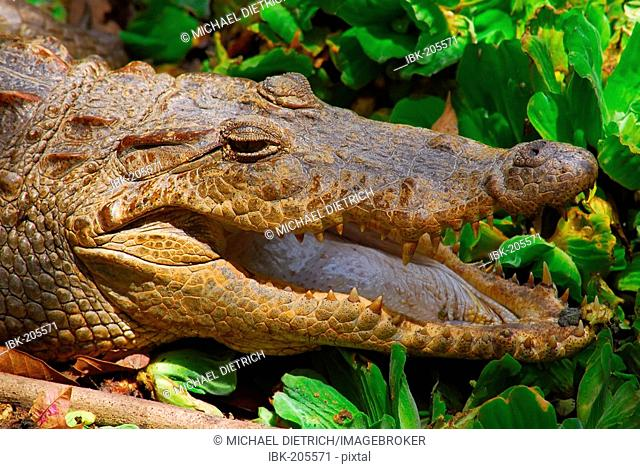Nile Crocodile (Crocodylus niloticus) exposes its teeth, Barkau, The Gambia, Africa