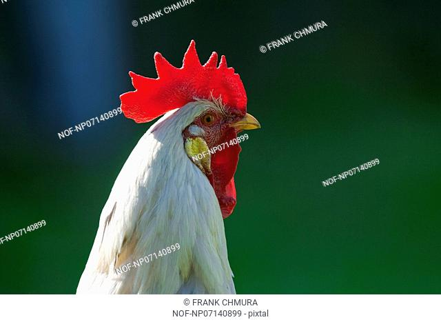 close up of a backlit white rooster's head - short depth of field