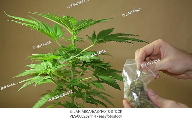 Cannabis plant and hand holding dried Marijuana buds