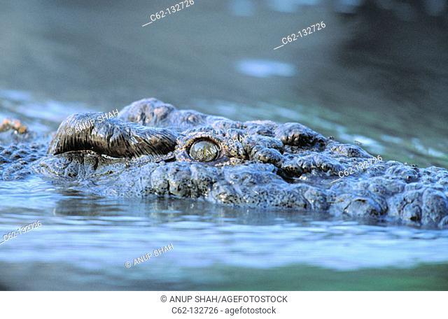 Nile Crocodile (Crocodylus niloticus). Serengeti National Park. Tanzania