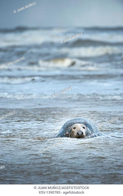Donna Nook. Grey Seal. Halichoerus grypus. Lincolnshire. UK. Europe