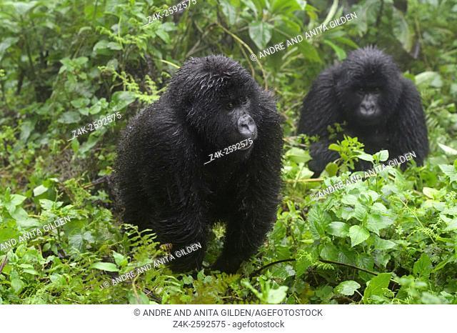 Mountain Gorilla (Gorilla beringei beringei) juvenile from Agasha group in vegetation, second in background, wet from rain, Volcanoes National Park, Rwanda