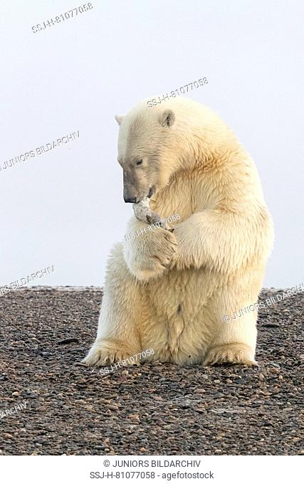 Polar Bear (Ursus maritimus, Thalarctos maritimus) playing with with a piece of whale skin. Kaktovik, Alaska. Every fall polar bears gather near Kaktovik on the...