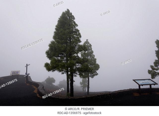 Mirador de Los Llanos de Jable, Canary pine, La Palma, Spain, Pinus canariensis
