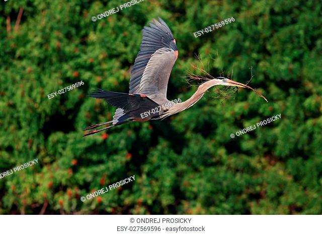 Flying heron in the green forest habitat