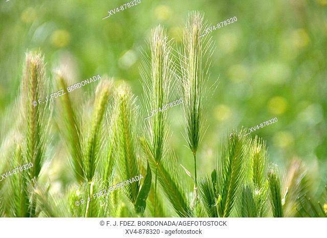 Wheat spikes in Monegros land, Saragosse, Aragon, Spain