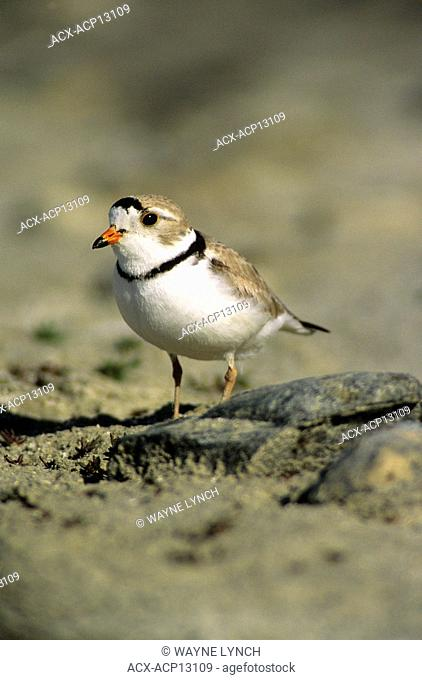 Adult piping plover Charadrius melodus in breeding plumage, aspen parklands, east-central Alberta, Canada