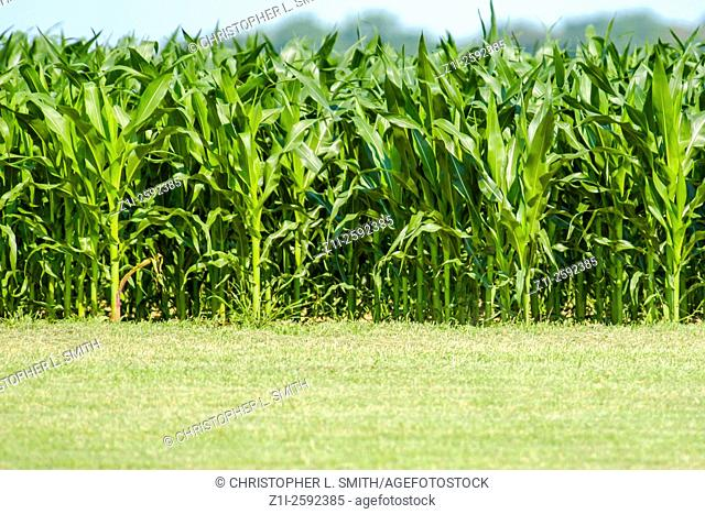 Field of Corn on the cob