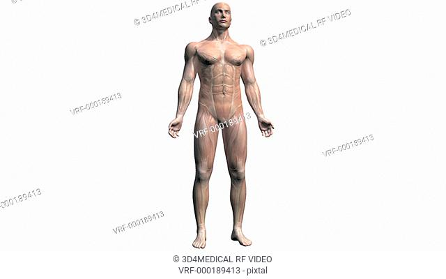 Animation depicting a rotation around the muscular system within the human body. The body fades down to reveal the underlying muscle system and then back up...