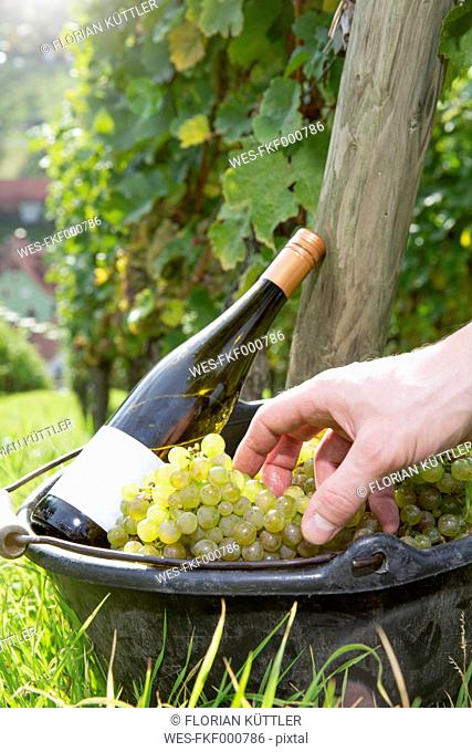 Germany, Bavaria, Volkach, hand in bucket with harvested grapes and wine bottle
