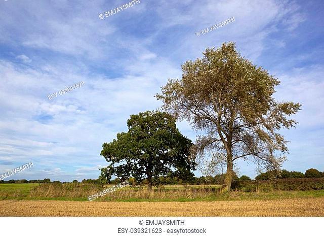 a white poplar and oak tree beside a stubble field under a blue cloudy sky in late summer