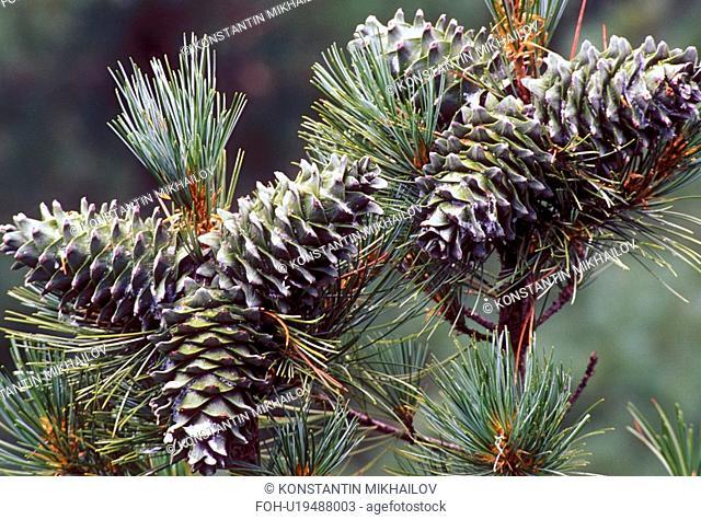 East Siberia, Eatern Siberia, Siberia, branch, close-up, cones