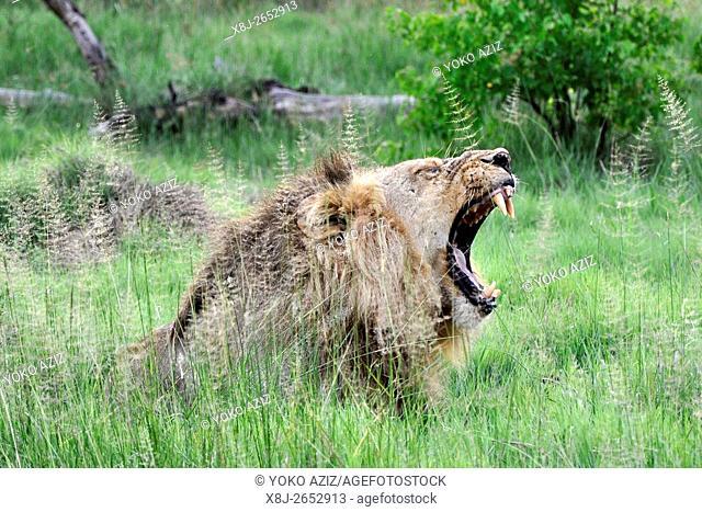 lion, Moremi National Park, Botswana