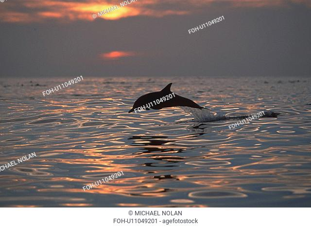 Long-beaked Common Dolphin Delphinus capensis at sunset. Northern Gulf of California, Mexico rr