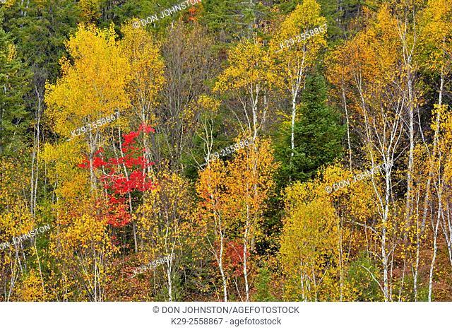 Autumn hardwood trees- a hillside of birch, aspen and maple, Greater Sudbury (Lively), Ontario, Canada