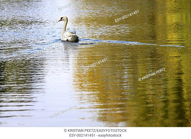 Swan on a lake in autumn day