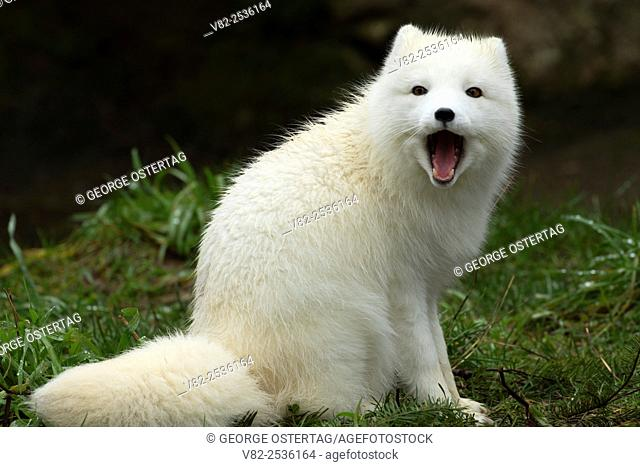 Arctic fox, Point Defiance Zoo and Aquarium, Point Defiance Park, Tacoma, Washington