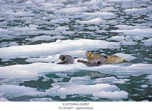 Harbor Seal mom & young  Le Conte Glacier, Alaska  Phoca vitulina