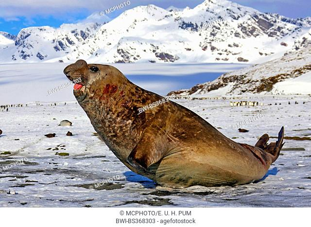 southern elephant seal (Mirounga leonina), bull straitening up, Antarctica, Suedgeorgien, Fortuna Bay