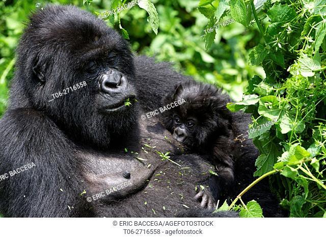 Female Mountain gorilla feeding and nursing her one month old baby (Gorilla beringei beringei) Virunga National Park, Democratic Republic of Congo, Africa
