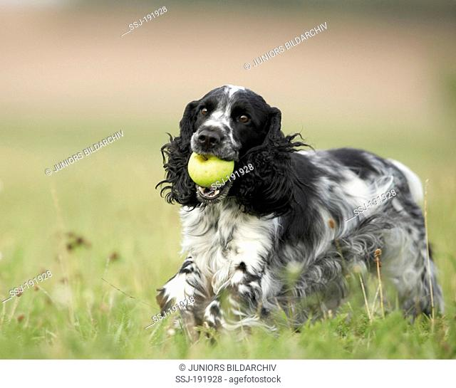 English Cocker Spaniel. Adult black-and-white running on a meadow while carrying an apple in its snout. Germany