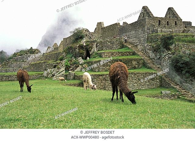 Llamas at Machu Picchu Unesco World Heritage Site, Urubamba Valley, Peru