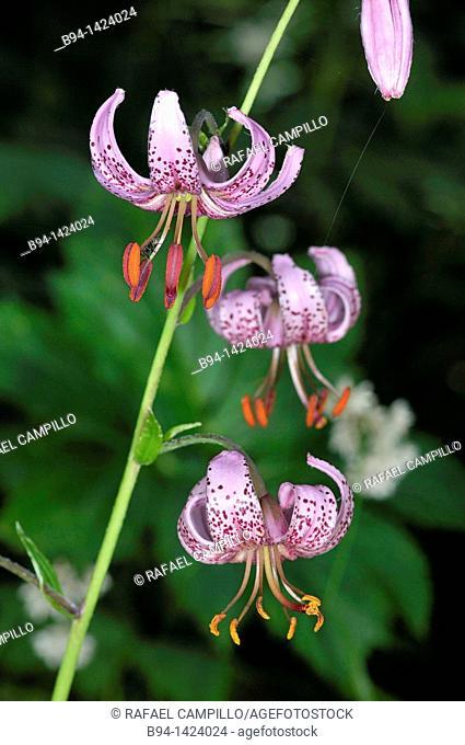 Pyrenean Lily (Lilium pyrenaicum, fam. Liliaceae), Eyne valley, French Cerdanya, Pyrénées-Orientales, Languedoc-Roussillon, France