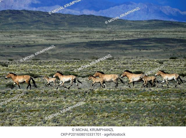 Wild Przewalski's Horses run through the fields in the Takhin Tal, Gobi B Strictly Protected Area, Mongolia, July 22, 2016
