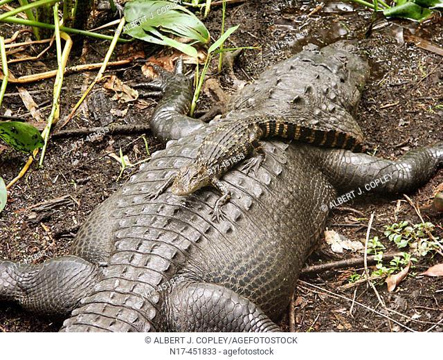 Florida Everglades, American alligator